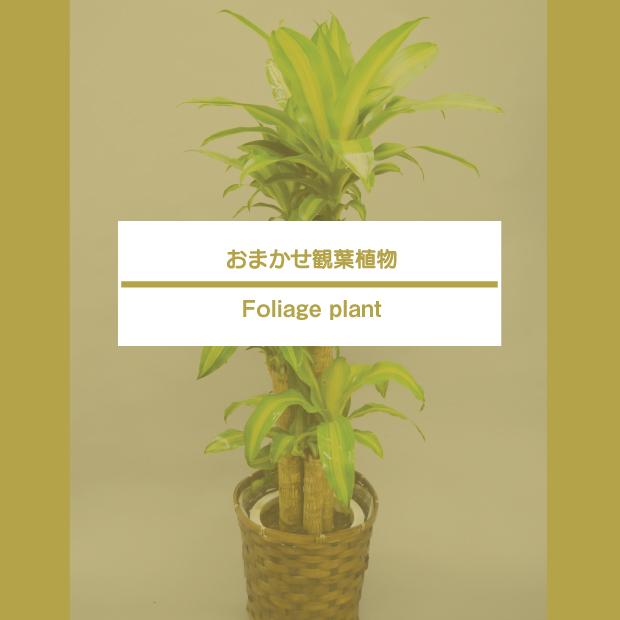 おまかせ観葉植物8,000-50,000円
