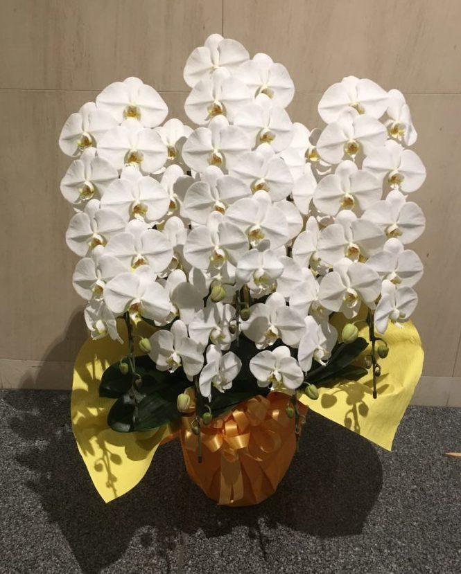 胡蝶蘭5本立ち35,000-75,000円
