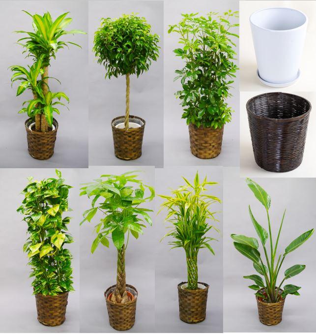 選べる観葉植物10号と器セット