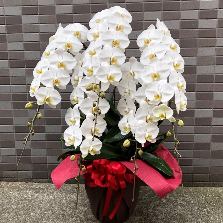 昇進・就任祝い、開業祝、当選祝い、事務所開きなどの用途に、多く贈られる5本立ちの胡蝶蘭です。白色が一番人気です