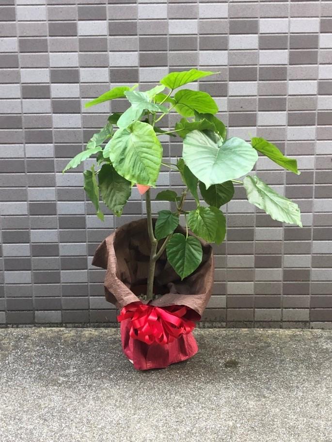 開設祝い用観葉植物ウンベラータ
