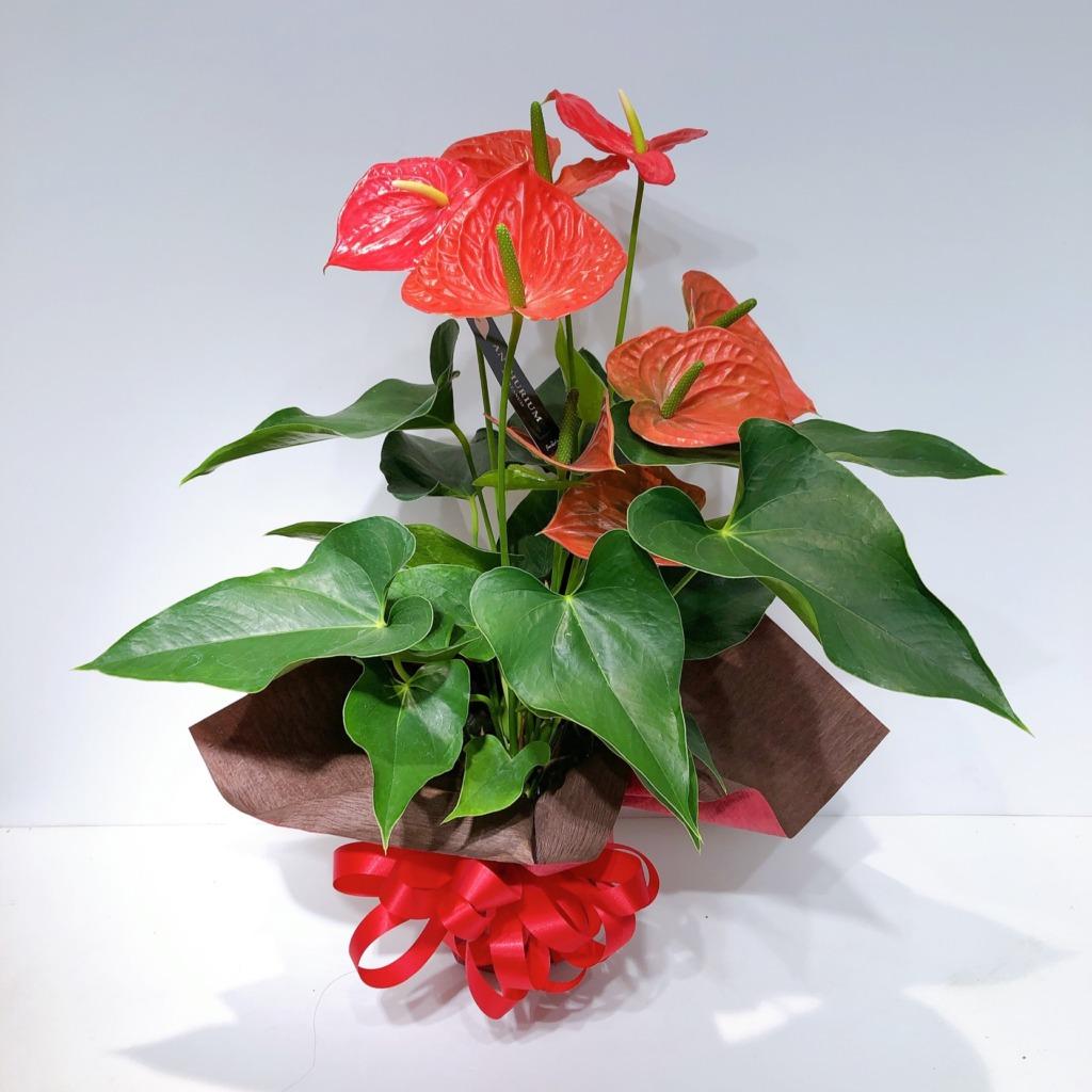 【限定】アンスリュームの花鉢