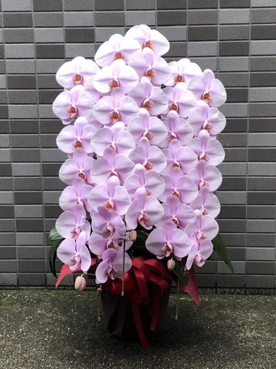 胡蝶蘭3本立ち36輪-39輪(ピンク)