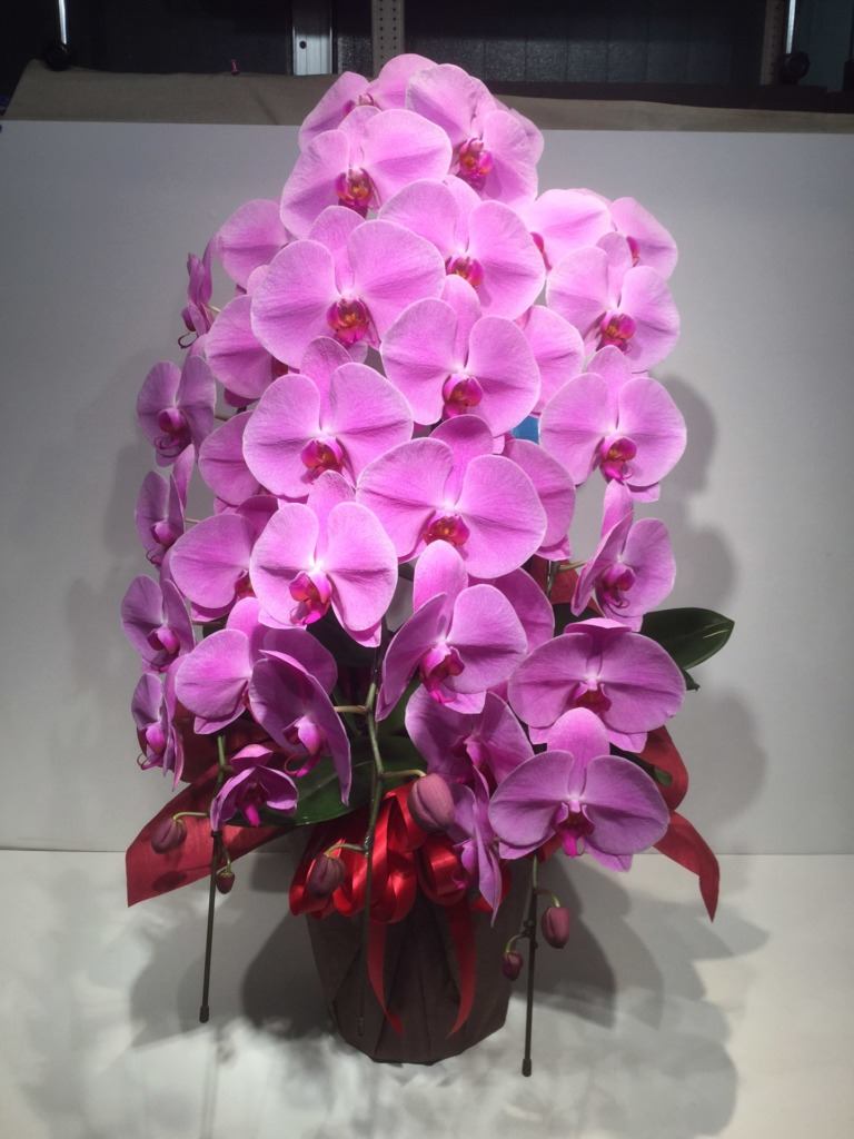 胡蝶蘭3本立ち24輪以上(ピンク)