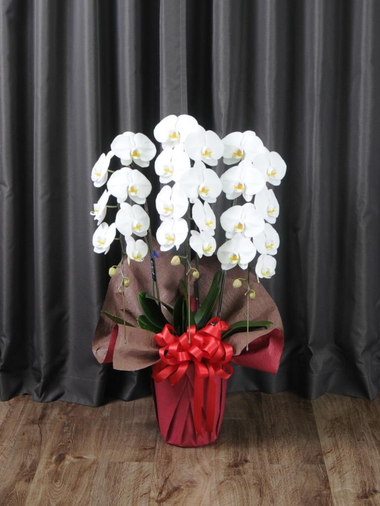胡蝶蘭3本立ち20輪−24輪(白)