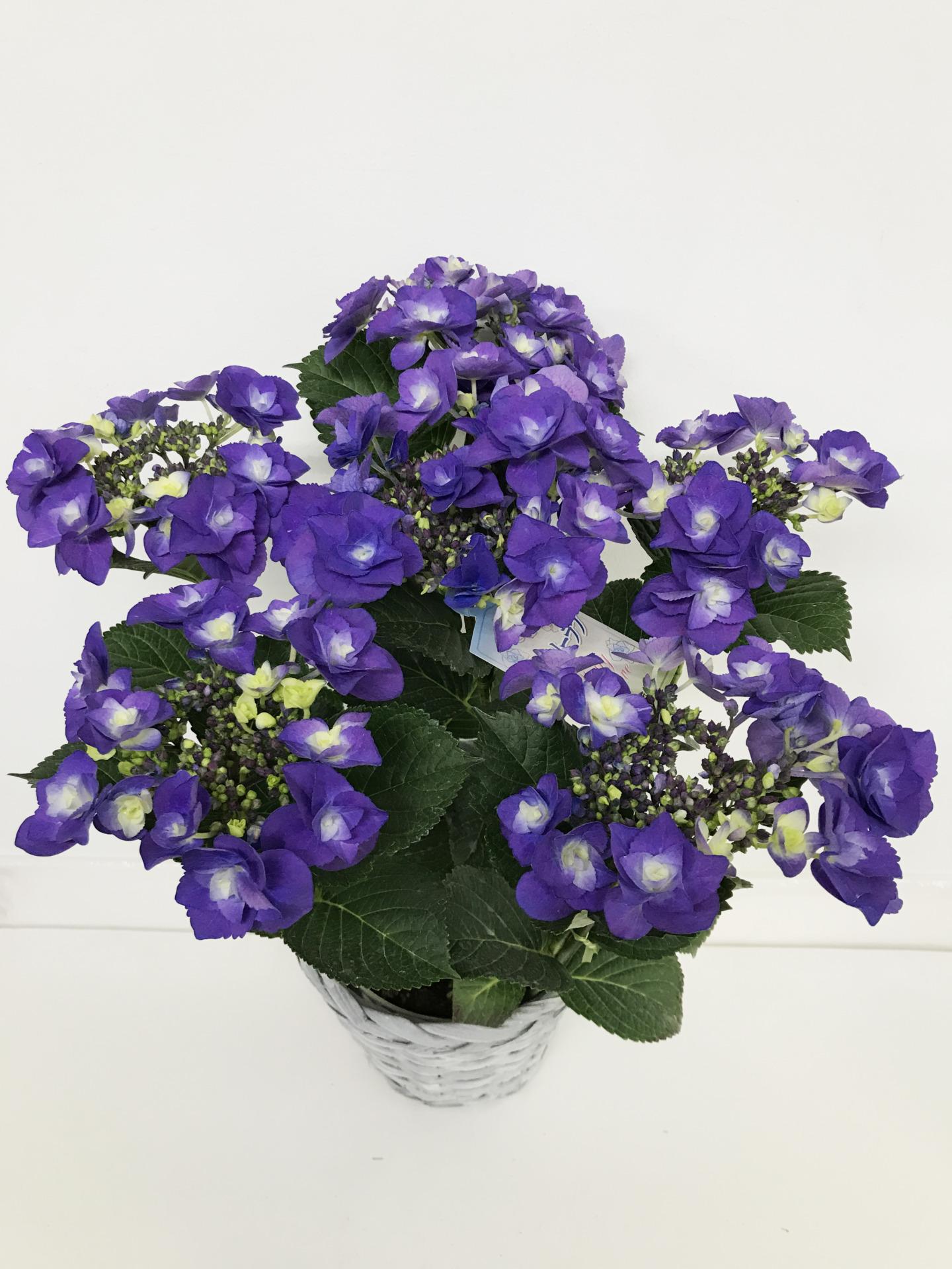 紫陽花・あじさい フェアリーラブ ブルー